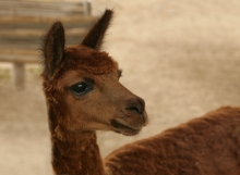 Alpaca at Pyramid Pucllana