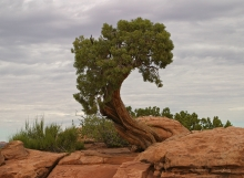Tree in Canyonlands